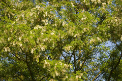 Robinia royalty free stock images