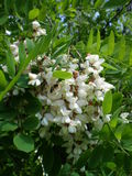 Robinia white tree. Flowers Robinia white tree  inflorescence Royalty Free Stock Photo