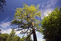 Robininia Pseudoacacia springtime tree Stock Image