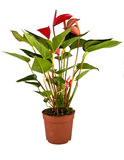 robino anthurium Obraz Royalty Free