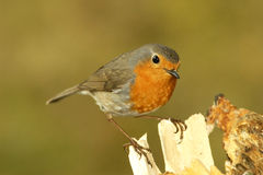 Robins Royalty Free Stock Image