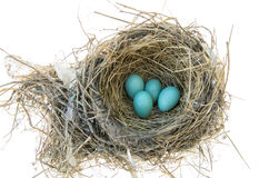 Robins Bird Nest. Robins nest with 4 eggs in it. Isolated on a white background Stock Photography