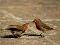 Robins courting. Male robin offering food to female robin. Courting behaviour stock photography
