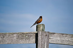 A Robins Cry Stock Images