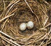 Robins eggs. A birds nest Stock Photography