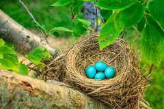 Robins eggs royalty free stock image