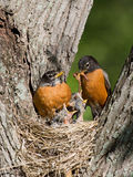 Robins feed their young. Father robin feed his unfledged young a tasty treat of earthworms while mom watches Stock Photo
