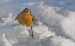 Robins foraging in the snow stock photography