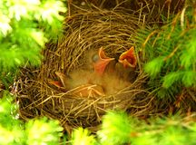 Robins Nest Stockbild