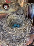 Robins nest in old tractor Stock Photo
