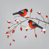 Robins on a rose hips branch Royalty Free Stock Photo