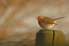 Robins stolpe royaltyfria foton