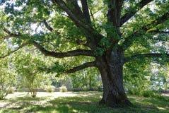 Roble-árbol Imagen de archivo libre de regalías