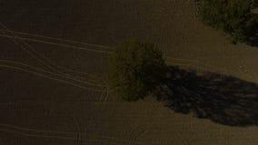 Roble aéreo de la cantidad del abejón, árbol, campo solo del roble almacen de video