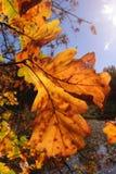Roble colorido de los árboles del otoño en el parque, rayos del sol Foto de archivo libre de regalías