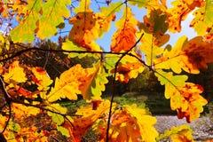 Roble colorido de los árboles del otoño en el parque, rayos del sol Imágenes de archivo libres de regalías