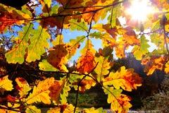 Roble colorido de los árboles del otoño en parque Fotografía de archivo