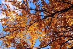 Roble colorido de los árboles del otoño en parque Fotografía de archivo libre de regalías