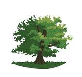 Roble con las hojas y las ramas del verde Foto de archivo