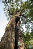 Roble de 500 años, que sobrevivió varios rayos en Jaszczurowa Fotografía de archivo