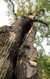 Roble de 500 años, que sobrevivió varios rayos en Jaszczurowa Imagenes de archivo