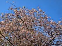 Roble de Sabana, rosea de Tabebuia, é uma árvore belamente de florescência de ASmerica central, Honduras imagens de stock