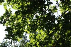 Roble del árbol para las escobas Imagen de archivo libre de regalías