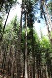 Roble del bosque Fotografía de archivo libre de regalías
