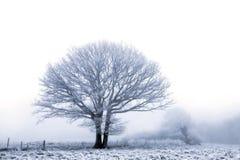 Roble del invierno Foto de archivo