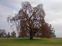 Roble del otoño Foto de archivo libre de regalías