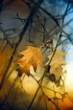 Roble del otoño Fotografía de archivo libre de regalías