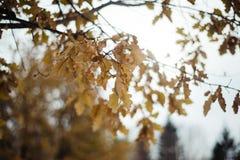 Roble del otoño Foto de archivo
