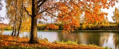 Roble del otoño con las hojas amarillo-rojas Fotografía de archivo