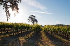Roble del valle de California en viñedo en la salida del sol en el viñedo de Paso Robles en el Central Valley de California los E foto de archivo