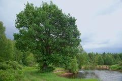 Roble en el banco de río Imagen de archivo libre de regalías