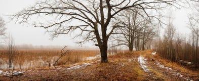 Roble en el camino en bosque del abedul con nieve de fusión en primavera Foto de archivo