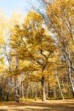 Roble en el claro en bosque de abedul en otoño Fotos de archivo libres de regalías