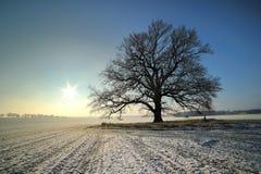Roble en el wintersun Fotografía de archivo libre de regalías
