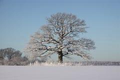 Roble en invierno Foto de archivo libre de regalías