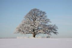 Roble en invierno Imágenes de archivo libres de regalías