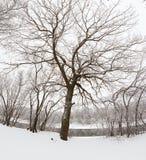 Roble en la orilla del río Fotografía de archivo