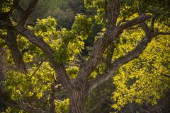 Roble en Morton Forest foto de archivo libre de regalías