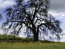 Roble en primavera Imagen de archivo libre de regalías