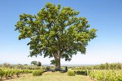 Roble entre el viñedo en Toscana Fotografía de archivo