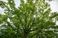 Roble grande con las hojas Fotografía de archivo libre de regalías