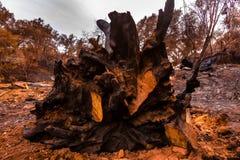 Roble grande destruido por las raíces del corte del fuego Fotos de archivo libres de regalías