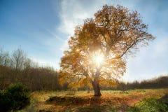Roble grande en el otoño Fotos de archivo libres de regalías