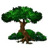 Roble grande viejo con follaje verde enorme y arbustos en el fondo Imágenes de archivo libres de regalías