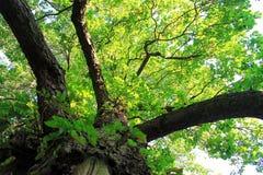 Roble hermoso en bosque en Suecia fotos de archivo libres de regalías