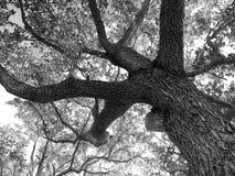 Roble meridional gigante Fotografía de archivo libre de regalías
